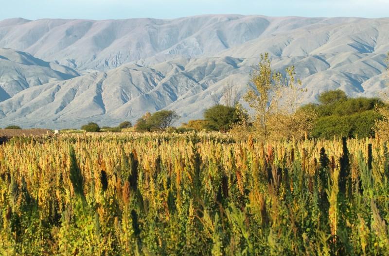 Domestication of Quinoa