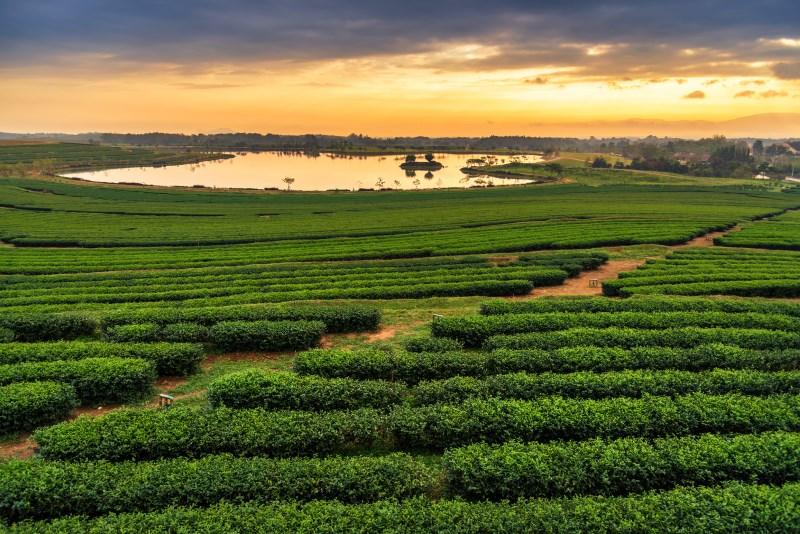 green-tea-varieties