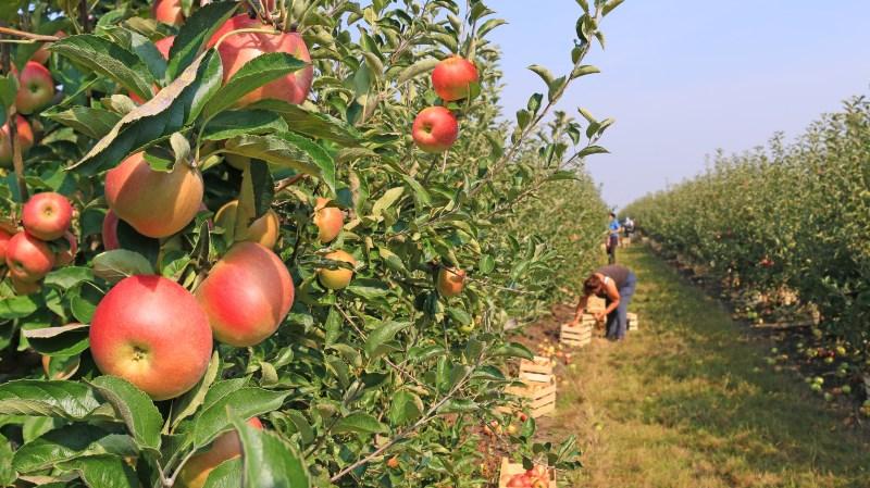 how-apples-grow