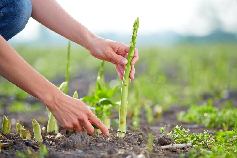 How Asparagus Grows