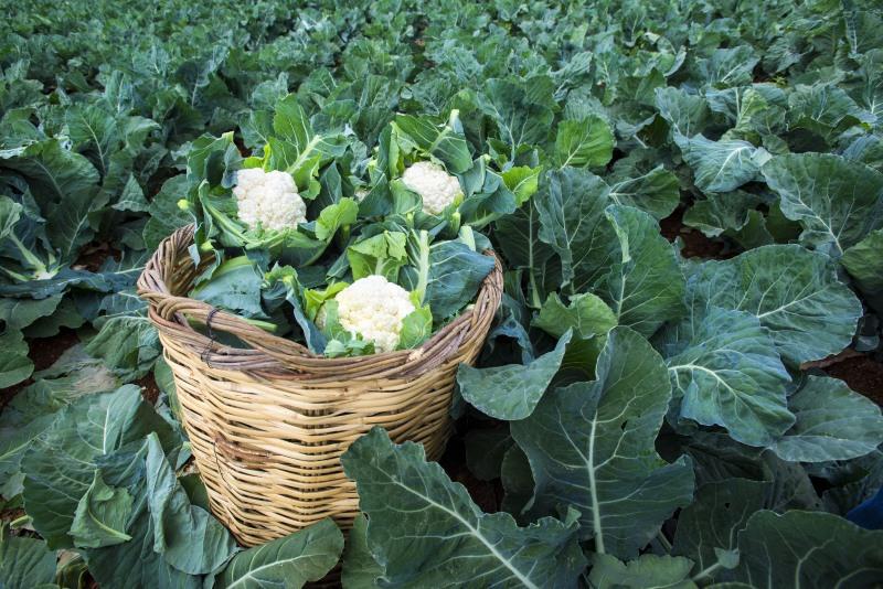 How Cauliflower Grows