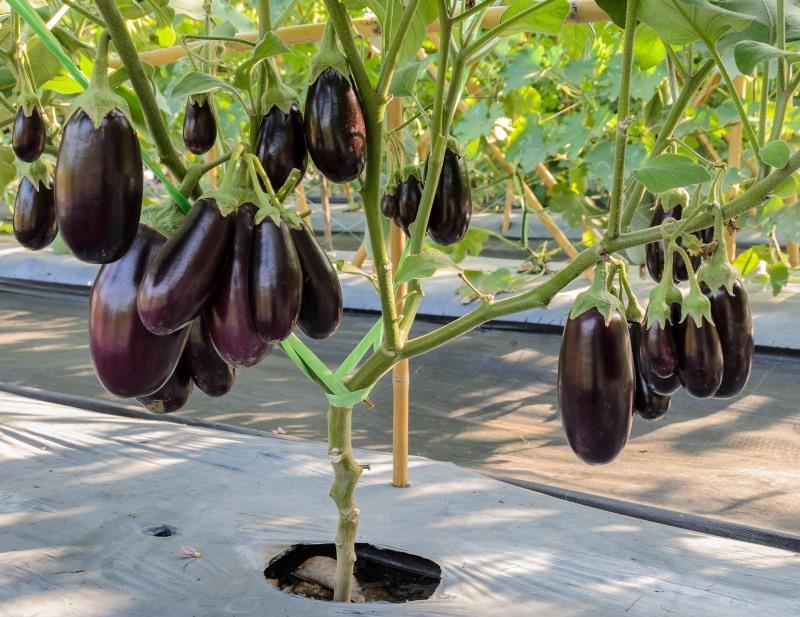 How Eggplant Grows