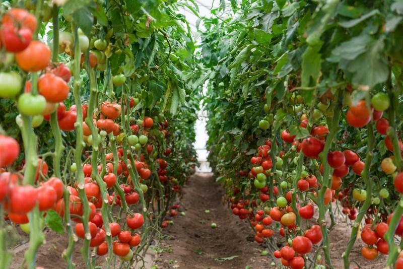 how-it-groeit-tomaten