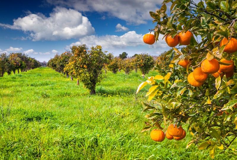 how-oranges-grow