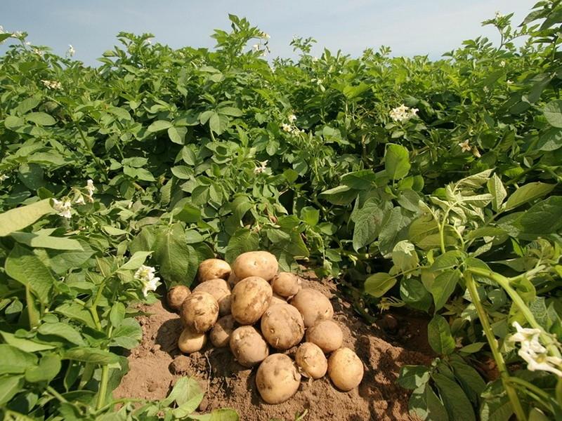 how-potatoes-grow