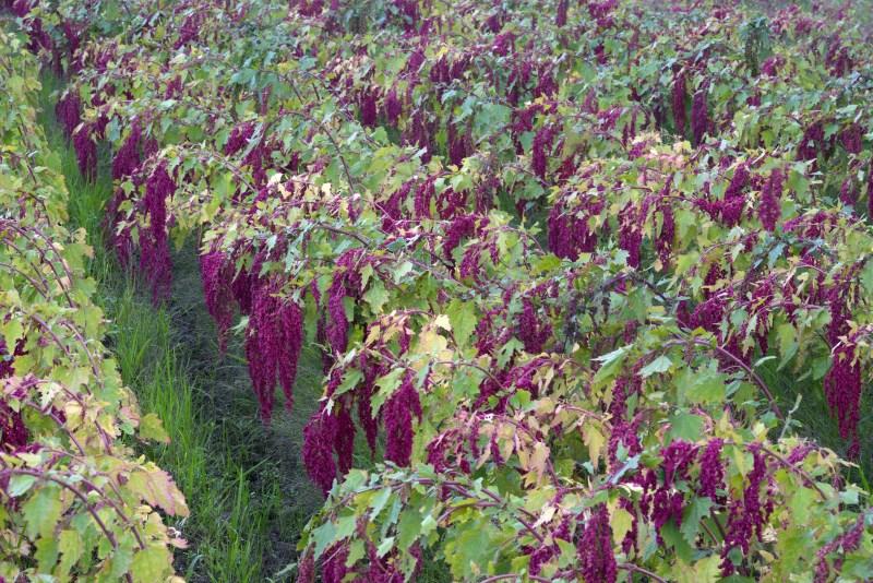 Hoe Quinoa groeit
