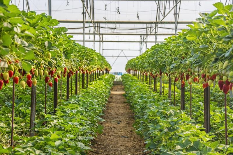 how-aardbeien-grow