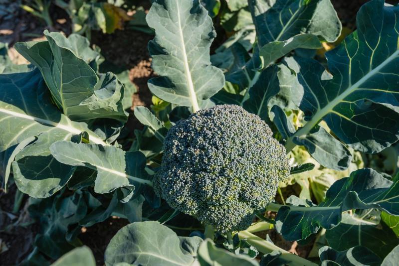 How broccoli Grows