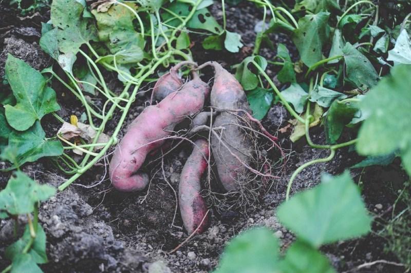 how-it-grows-sweet-potatoes