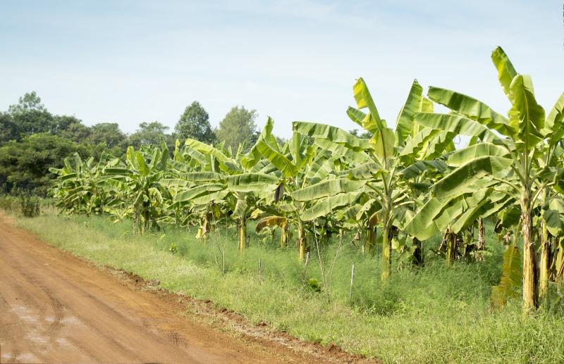 Hoe banaan groeit
