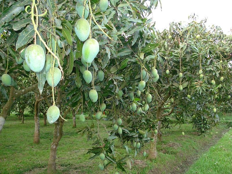 how-mango-grows