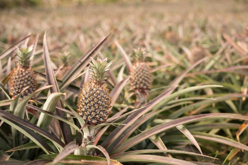How pineapple grows