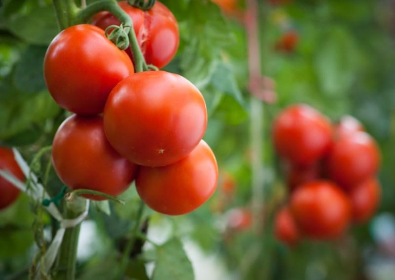 interessante-feiten-tomaten