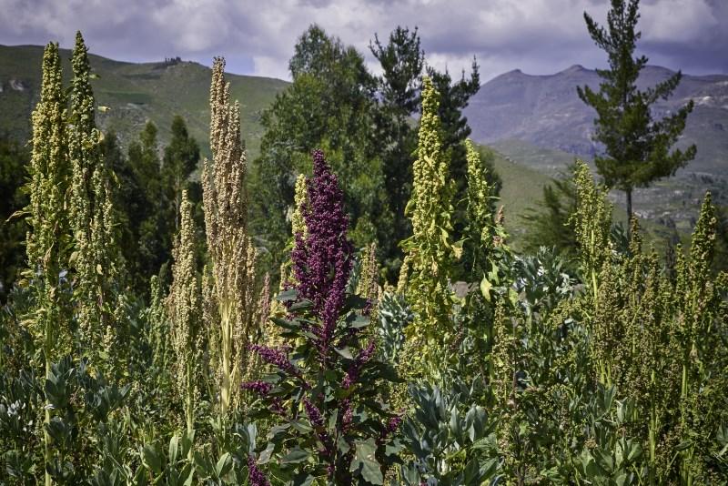 Quinoa planten groeien in het veld