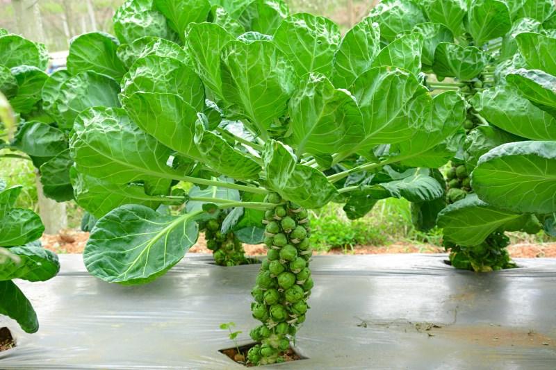 varieties-brussels-sprouts