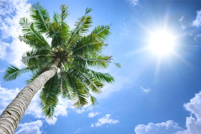 coconut-tree-in-sun