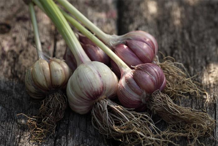fresh garlic bulbs - 14 GEZONDE EIGENSCHAPPEN VAN KNOFLOOK