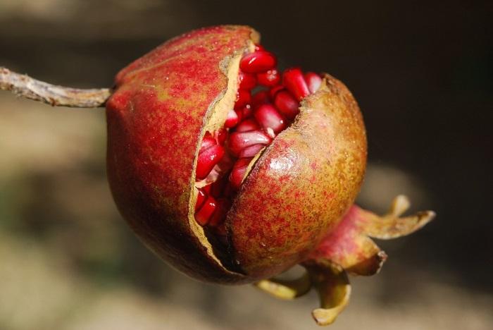 pomegranate-ripe